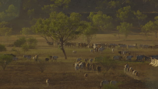 Australia: Cows and helicopter cowboys