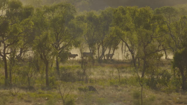 Australia: Cows and trees