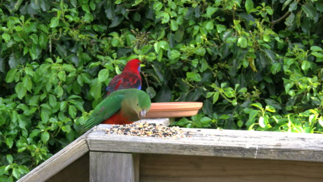 Australia Crimson Rosella female eats seeds and males fly up