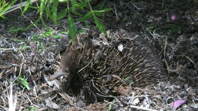 vidéos et rushes de australia echidna turns head left - digging