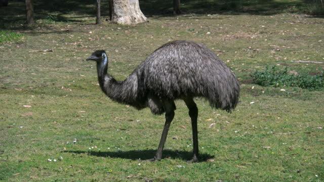australia emu eating grass - emu stock videos & royalty-free footage