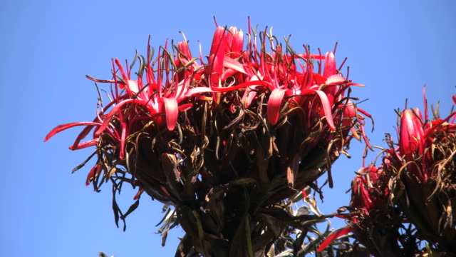 australia flame lily or gymea lily and blue sky - lily stock videos & royalty-free footage