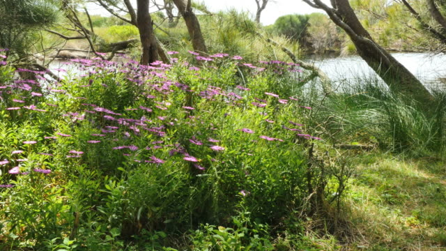 australia flowers edge eurobodalla national park - idyllic stock videos & royalty-free footage
