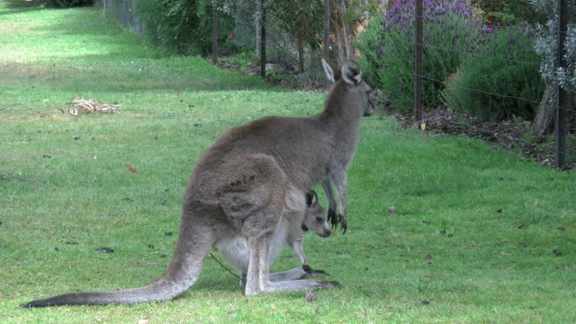 australia grampians kangaroo with joey by fence - animal family stock videos & royalty-free footage