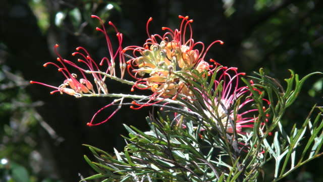 australia grevillea flower dark background - red stock videos & royalty-free footage