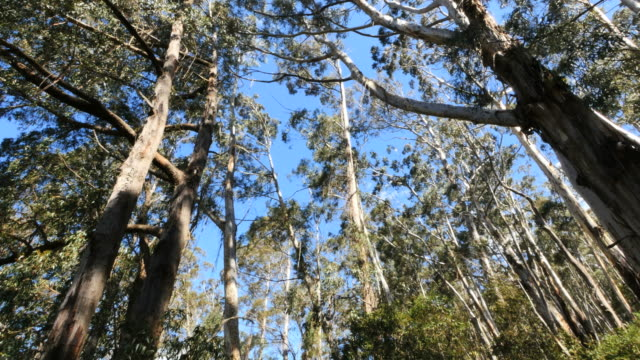 australia gum trees at pipers lookout - low angle view stock videos & royalty-free footage