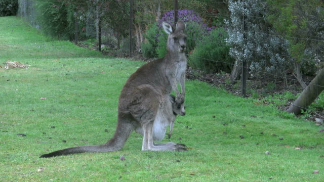 australia kangaroo with joey standing - animal family stock videos & royalty-free footage