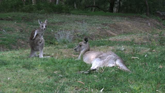 australia kangaroos at halls gap mother and young good - カンガルーの子点の映像素材/bロール