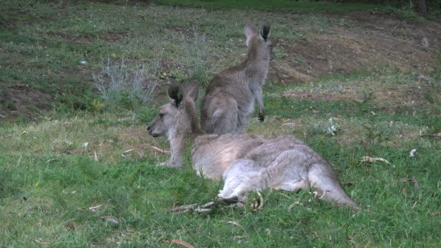 australia kangaroos mother and young turns faces - カンガルーの子点の映像素材/bロール