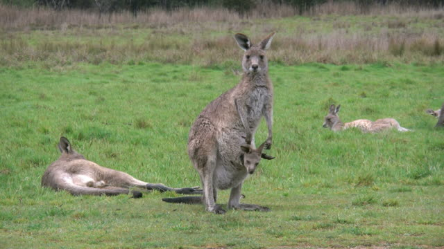 australia kosciuszko mother kangaroo with joey - female animal stock videos & royalty-free footage