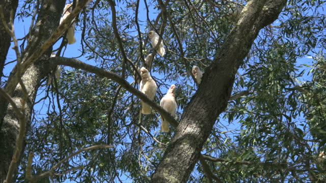 australia long-billed corella birds in gum tree two fly away - gruppo medio di animali video stock e b–roll