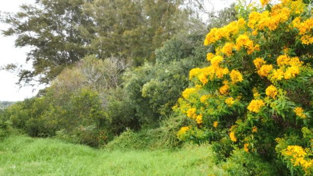 australia mornington peninsula flowering shrubs - bush stock videos & royalty-free footage