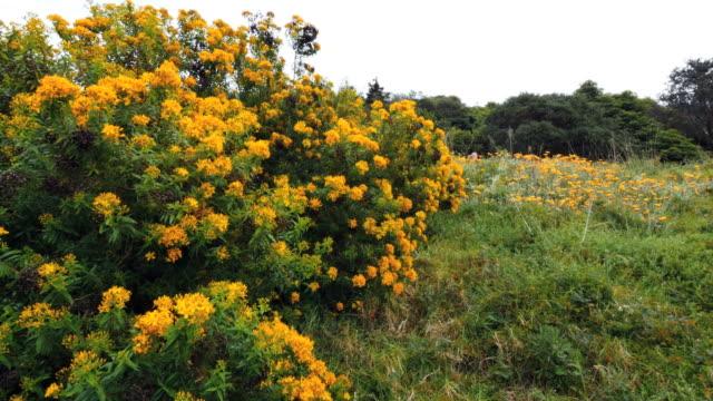 australia mornington peninsula yellow flowers on shrub - bush stock videos & royalty-free footage