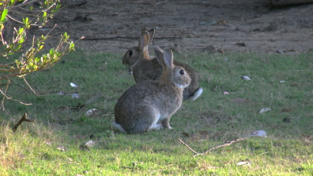 australia murramarang beach bunny rabbits sitting on grass pan - cottontail stock videos & royalty-free footage