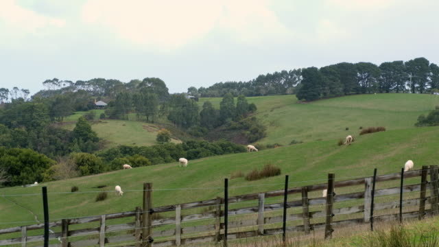 australia sheep farm - sheep stock videos & royalty-free footage