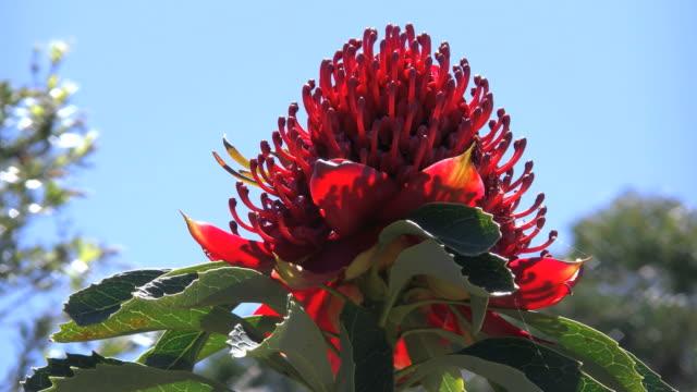 australia waratah flower seen against blue sky - single flower stock videos & royalty-free footage