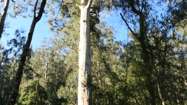 australia yarra ranges gum forest tilt up - low angle view stock videos & royalty-free footage