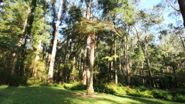 australia yarra ranges gum forest view - tree fern stock videos & royalty-free footage
