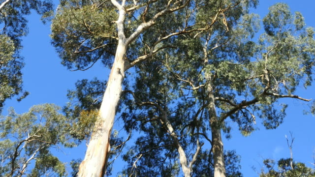 australia yarra ranges national park gum forest tilt up - low angle view stock videos & royalty-free footage