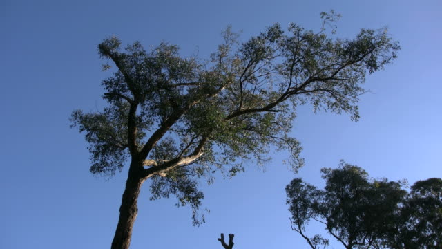 australia yarra ranges twisted gum and blue sky - low angle view stock videos & royalty-free footage