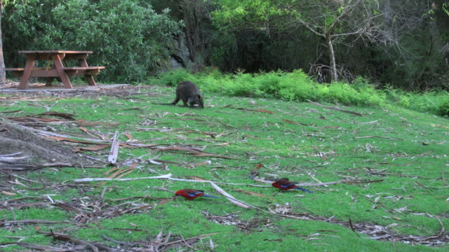 australia yarra ranges wallaby and parrots - picnic table stock videos & royalty-free footage