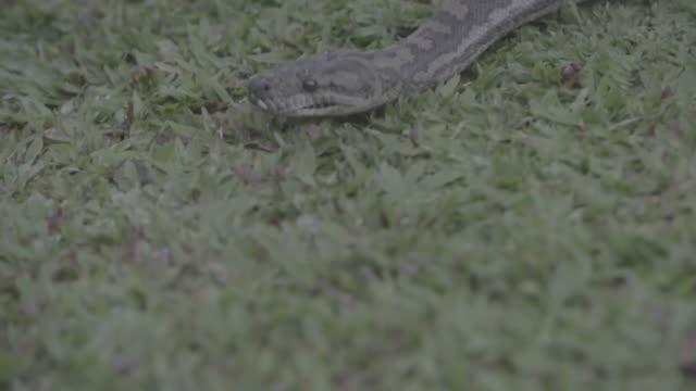 vídeos de stock e filmes b-roll de australia_16_4k_nature_flower_daintree_snake_jungle - áudio disponível online