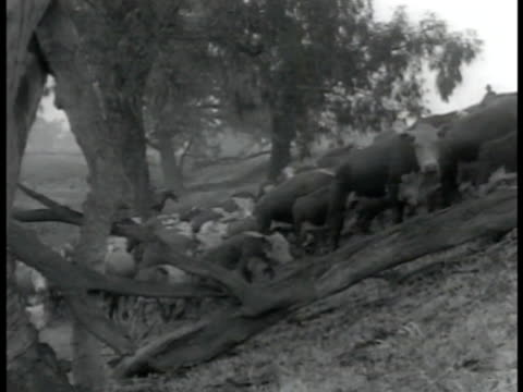 australian cattle climbing up hill sheep gathered together for shearing line of men shearing sheep ms man finishing shearing sheep wwii - newsreel stock videos & royalty-free footage