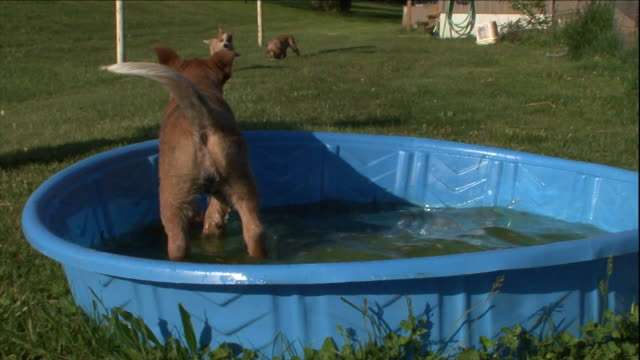 australian cattle dog puppies play in a kiddie pool. - careless stock videos & royalty-free footage