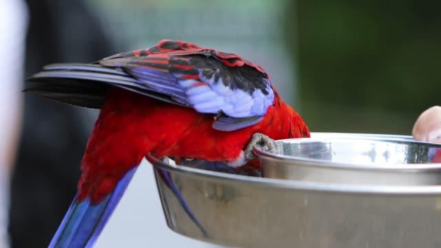 Australian Crimson Rosella Feeding For Tourists