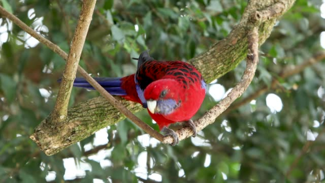 Australian Crimson Rosella