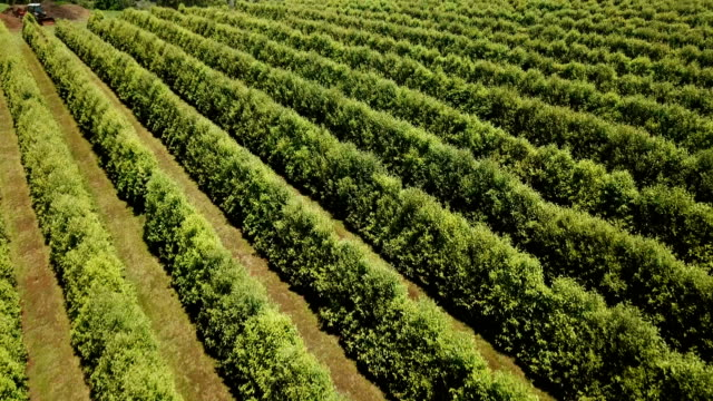 australian crops in line formations. aerial view - orchard stock videos & royalty-free footage
