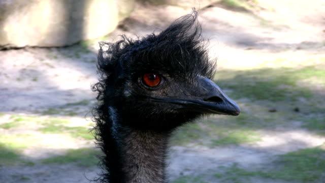 australian emu - 2008 stock videos and b-roll footage