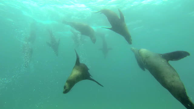 australian fur seals sea lions hd - seal animal stock videos and b-roll footage
