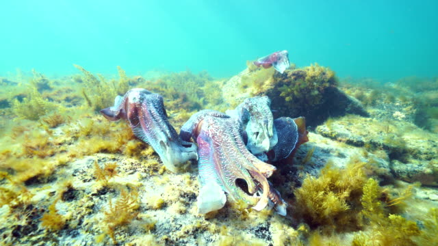 Australian giant cuttlefish male protecting his female from other smaller males as she attempts to lay her eggs in a crevice, Whyalla, South Australia.