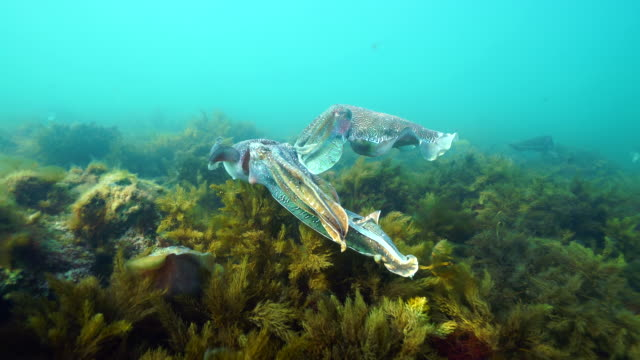 Australian giant cuttlefish male protecting his female from other another male as she attempts to lay her eggs in a crevice, Whyalla, South Australia.