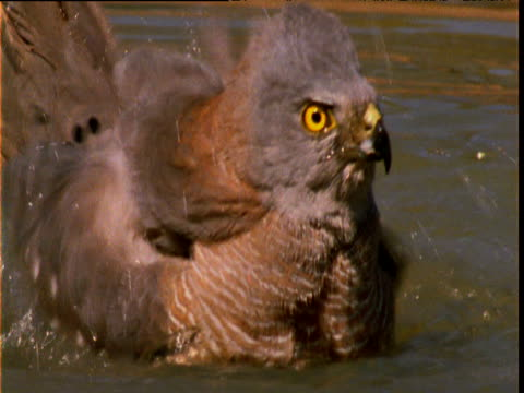 "vidéos et rushes de australian goshawk bathes in waterhole, new south wales, australia - ""bbc natural history"""