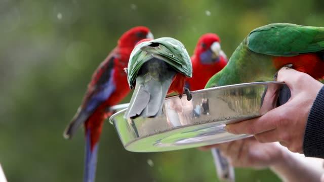 Australian King Parrots And Crimson Rosella Feeding For Tourists