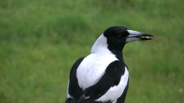 australian magpie with seed flies away - elster stock-videos und b-roll-filmmaterial