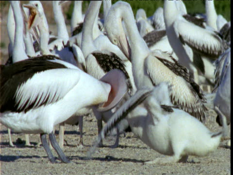 vídeos de stock e filmes b-roll de australian pelican chick sticks its head into parent's throat as it regurgitates food. parent shakes head until chick pulls head out, chick collapses on ground, lake eyre, south australia - pelicano