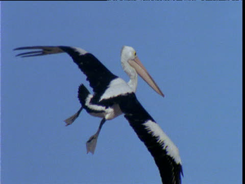 australian pelican comes in and lands in colony, lake eyre, south australia - 空気力学点の映像素材/bロール