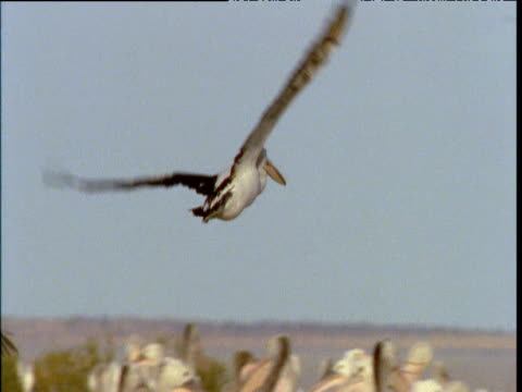 australian pelican comes in to land in crowded colony, lake eyre, south australia - 空気力学点の映像素材/bロール