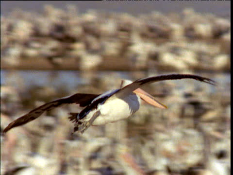 vidéos et rushes de australian pelican comes in to land in crowded colony, lake eyre, south australia - colony