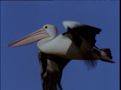 australian pelican flies in blue sky, lake eyre, south australia - 空気力学点の映像素材/bロール