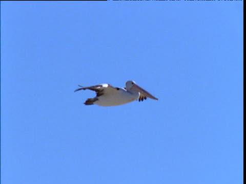 vidéos et rushes de australian pelican glides through blue sky and lands amongst busy colony, lake eyre, south australia - colony