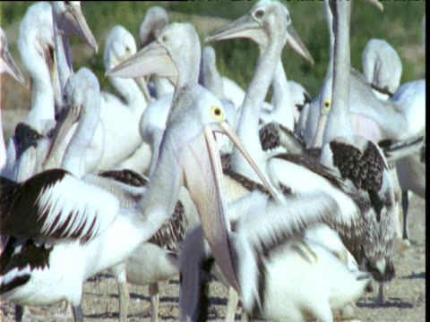 australian pelican regurgitates food to chick as it sticks its head down her throat, lake eyre, south australia - farynx stock videos and b-roll footage