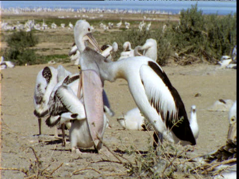 vídeos de stock e filmes b-roll de australian pelican regurgitates food to greedy chick, lake eyre, south australia - pelicano