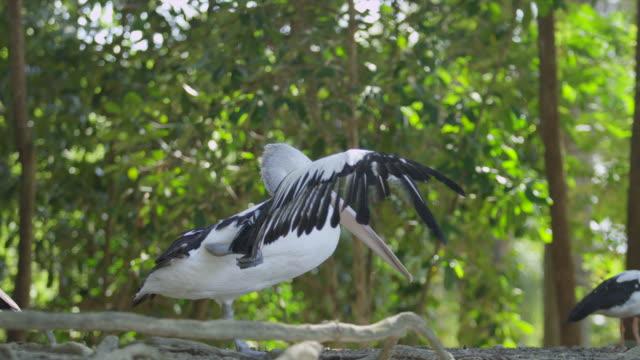 australian pelican stands on one leg and stretches wings - auf einem bein stock-videos und b-roll-filmmaterial
