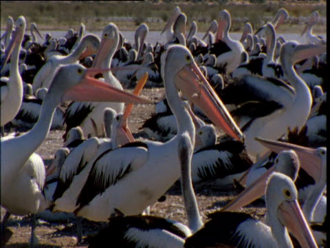 Australian pelican steals nesting material and is pecked at by neighbours, Lake Eyre, South Australia