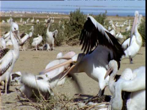 Australian pelican struggles to shake off greedy chick with its head down its throat, Lake Eyre, South Australia