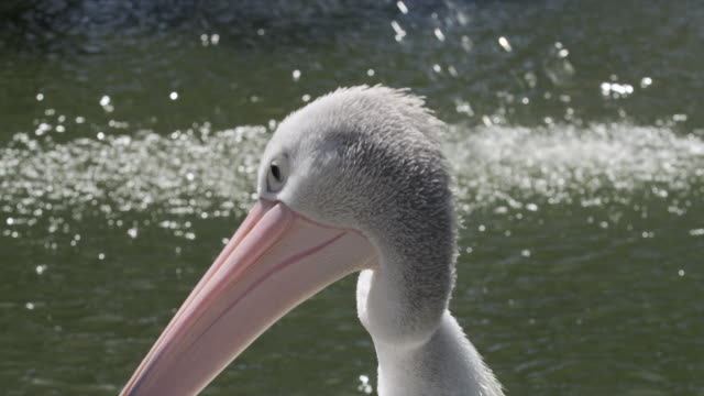 Australian pelican twists neck and preens its feathers